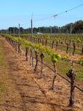 Vineyard. In Margaret River Wine Region, Western Australia Royalty Free Stock Photography