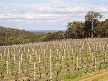 Vineyard, Margaret River wine region, Western AustraliaVineyard, Stock Photography