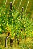 Vineyard In Maribor, Slovenia Royalty Free Stock Photography