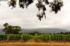 Vineyard in Marlborough Stock Photos