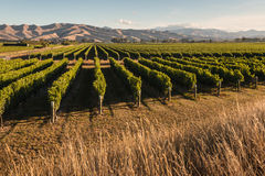 Vineyard in Marlborough, New Zealand royalty free stock photo