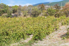 Vineyard in Massandra district of Crimea Royalty Free Stock Image