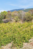 Vineyard in Massandra region of Crimea Stock Photography