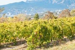 Vineyard in Massandra region of south coast Crimea Stock Image