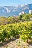 Vineyard in Massandra of south coast of Crimea Royalty Free Stock Images