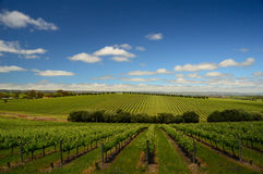 Vineyard in McLaren Vale Stock Images
