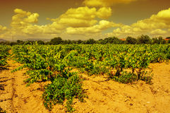 A vineyard in a mediterranean country at sunset Stock Images