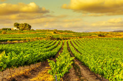 A vineyard in a mediterranean country at sunset Royalty Free Stock Photo