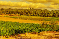 A vineyard in a mediterranean country at sunset Royalty Free Stock Photography