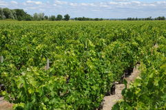 Vineyard of Medoc Stock Image