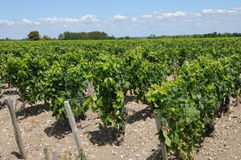 Vineyard of Medoc Royalty Free Stock Photo