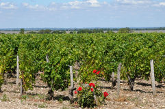 Vineyard of Medoc Stock Photography