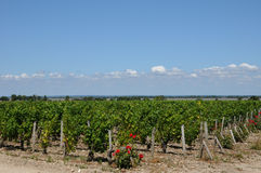 Vineyard of Medoc Stock Images