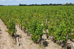 Vineyard of Medoc Royalty Free Stock Images