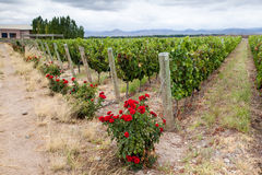 Vineyard Mendoza Argentina stock image