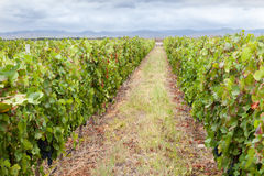 Vineyard in Mendoza Argentina Stock Image