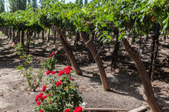 Vineyard Mendoza Argentina royalty free stock images