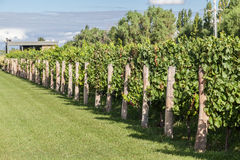 Vineyard in Mendoza Argentina stock images