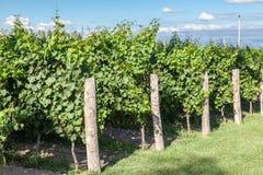 Vineyard in Mendoza Argentina Stock Image