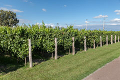 Vineyard in Mendoza Argentina Stock Photos