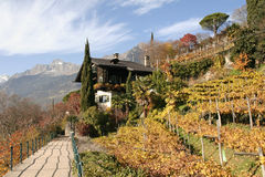 Vineyard in meran, south tyrol Stock Photography