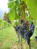 Vineyard merlot stock images