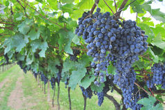 Vineyard merlot Royalty Free Stock Photos