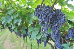 Vineyard merlot. Wine in the Italian countryside Royalty Free Stock Photos