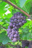 Vineyard merlot Stock Photography