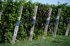 Vineyard in michigan Royalty Free Stock Image