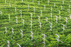 Vineyard, Minimal Tillage Practice. In Bird Eye's View Stock Images
