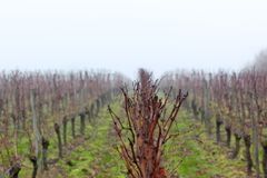 Vineyard in the mist Royalty Free Stock Photos