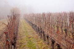 Vineyard in the mist Stock Images