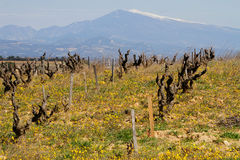 Vineyard and Mont Ventoux Royalty Free Stock Images