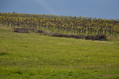 Vineyard in Moravia region, Czech Republic Royalty Free Stock Photos