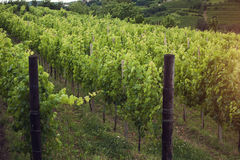 Vineyard in the morning, grapevines in row Stock Images