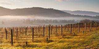 Vineyard In The Morning Royalty Free Stock Image