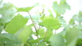 Vineyard. At morning with new small grapes stock footage