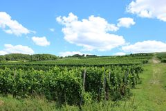 Vineyard in the Mosel region Luxembourg Stock Image