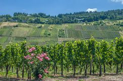 Vineyard at Mosel River,Germany Stock Photos