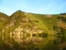 Vineyard at the Moselle. In Piesport, Germany Royalty Free Stock Photo