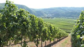 Vineyard at Moselle river valley with view to village Beilstein Germany stock video