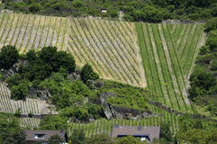 Vineyard in the Moselle valley Royalty Free Stock Images
