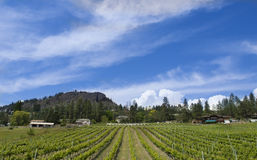 Vineyard. Mountain vineyard with mountain in background Royalty Free Stock Photo