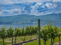 Vineyard. Mountain vineyard with mountain in background Stock Photos