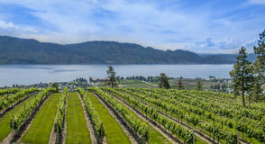 Vineyard. Mountain vineyard with mountain in background Royalty Free Stock Images