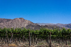 Vineyard and mountain Stock Images