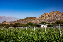 Vineyard and mountain Royalty Free Stock Image