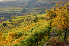 Vineyard in the mountains. Danube Valley, Austria Royalty Free Stock Image