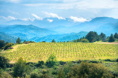 Vineyard with mountains on background Stock Images